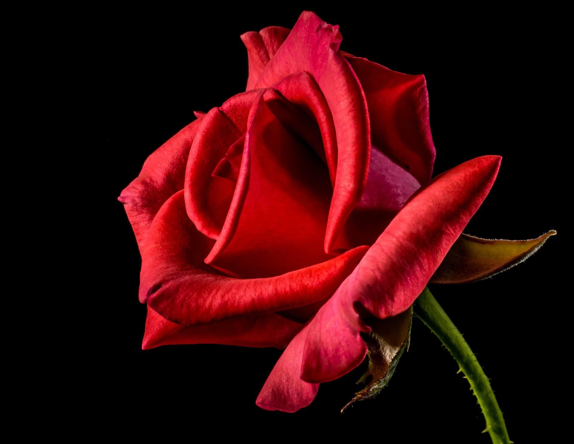 Liebesgedichte – Tagrose