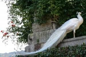 Gedichte von Liebe & Leben - Abend von Andreas Gryphius peacock-480504_1920-300x200 Gedichte von Liebe & Leben - Abend von Andreas Gryphius peacock 480504 1920