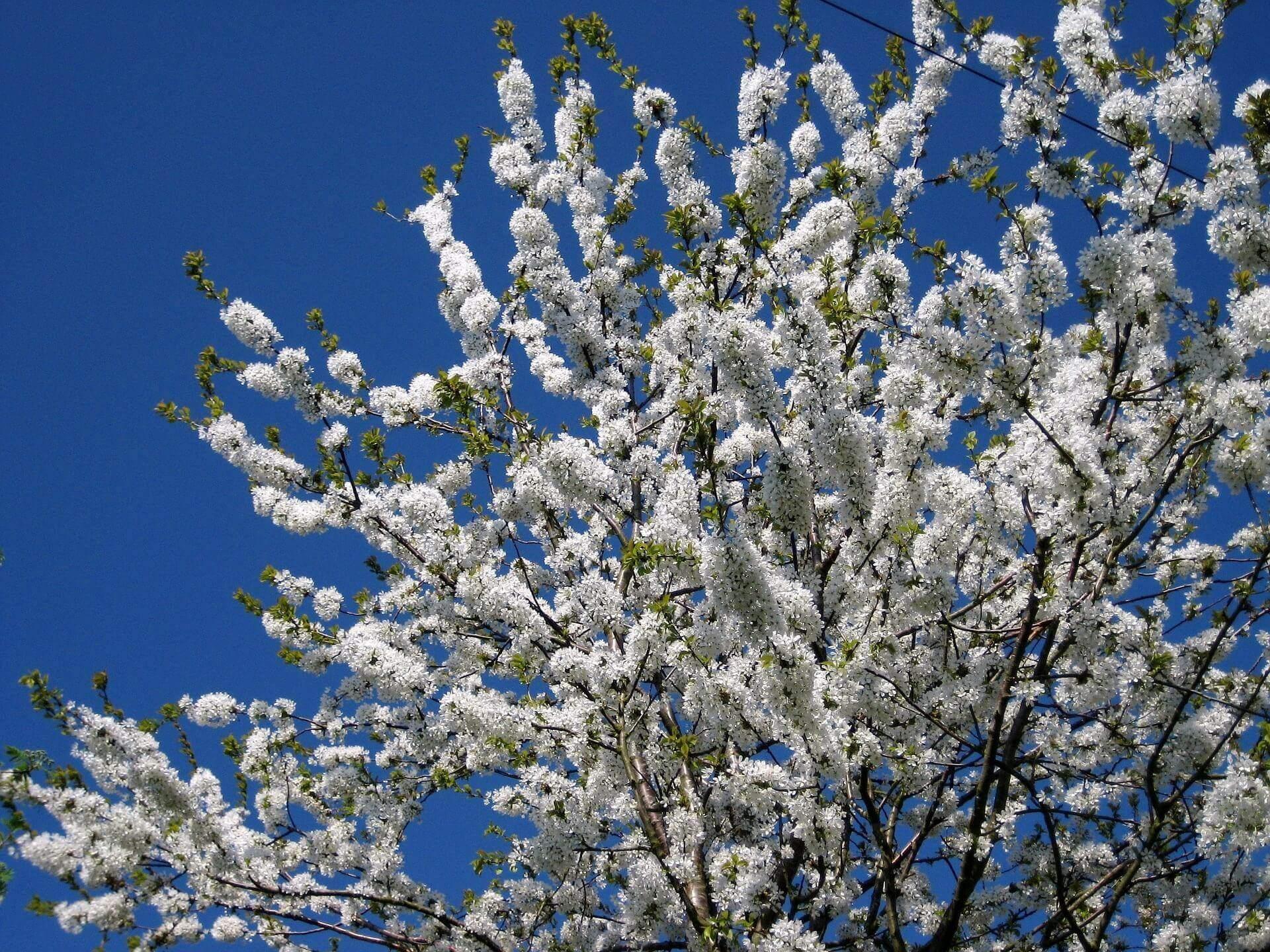 blossom-736048_1920