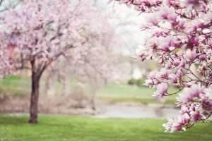 Gedichte über Liebe & Leben - Vitzliputzli Präludium von Heinrich Heine magnolia-trees-556718_1920-300x200 Romantik magnolia trees 556718 1920