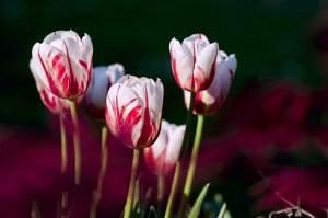 Gedichte über Liebe & Leben - Vitzliputzli Präludium von Heinrich Heine tulips-56423_1920-1-300x199 Romantik tulips 56423 1920 1
