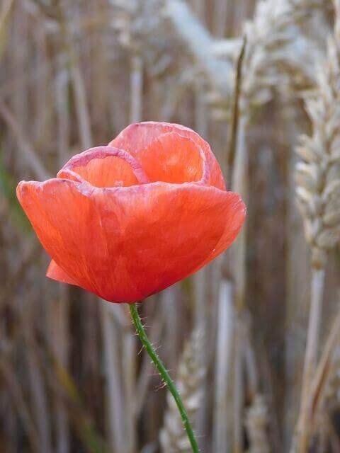 Liebesgedichte – Klatschrose von Johann Wolfgang von Goethe