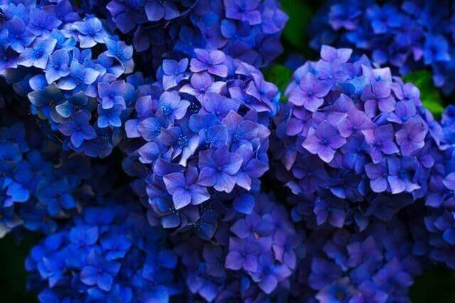 Liebesgedichte – Blaue Hortensie von Rainer Maria Rilke