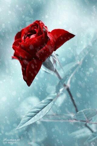 rote rose im schnee und eis - Das Symbol der Liebe - die rote Rose