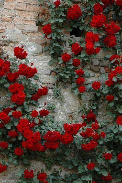 rote rosen an einer steinwand - Das Symbol der Liebe - die rote Rose