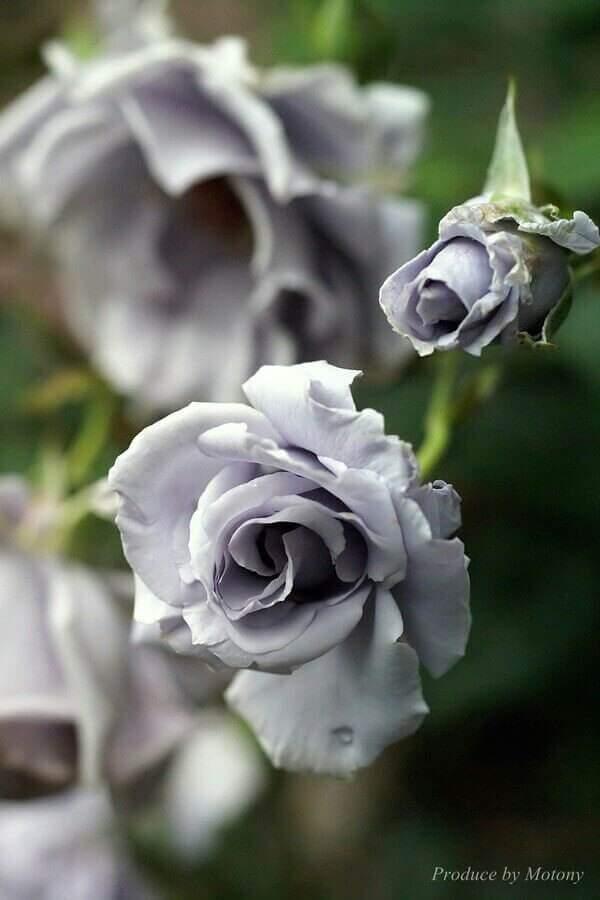 zart lila rose - Das Symbol der Liebe - die rote Rose